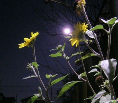 夜のヒマワリ[1].JPG